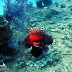 red Lionfish, Mauritius 2017